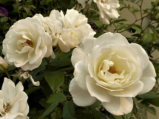 San Francisco, CA, Noe Valley, White Roses