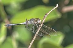 IMGP4169 Blue Skimmer Dragonfly (rjbrett2) Tags: blue skimmer dragonfly closeup takumar bayonet 135mm