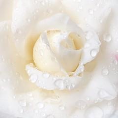 (pcamma) Tags: primavera spring onecolor monocromatico macro calma calm romantico romance giardino garden nature natura rainy rainyday pioggia gocce drops flower fiore camelia bianco white