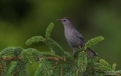 Gray Catbird (salmoteb@rogers.com) Tags: bird wild outdoor nature wildlife gray catbird ontario canada songbird perch tree