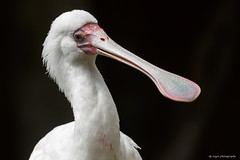 African Spoonbill (dpsager) Tags: africanspoonbill bird chicago dpsagerphotography illinois lincolnparkzoo spoonbill zoo zoosofnorthamerica