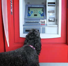 Benni discovers the ATM (Bennilover) Tags: labradoodle banking bank atm machine money donuts shopping walking benni bennigirl