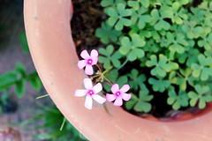 First Shamrocks 2018 (time_anchor) Tags: plants flowers mygarden pinkflowers shamrocks stpatricksday gardening sorrel bulbplants