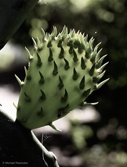 Young Nopal (photo.po) Tags: canonrebelt6 canon bokeh translucent green nopal cactus