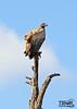 Hlane National Park (morbidtibor) Tags: africa swaziland hlane wildlife vulture safari