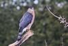 Cooper`s hawk / épervier de cooper (ricketdi) Tags: bird épervierdecooper coopershawk accipitercooperii naturethroughthelens coth5 ngc npc