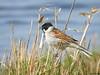 Reed Bunting (Corine Bliek) Tags: emberizaschoeniclus vogel vogels bird birds natuur nature wildlife emberizidae reedbeds wetlands voorjaar spring