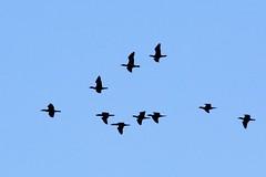 Cormorants In Flight (Piedmont Fossil) Tags: ferry point park kent island narrows maryland bird wildlife flying