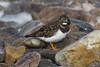 Coy Turnstone (steve_whitmarsh) Tags: aberdeen scotland nature wildlife animal birds coast beach rocks pebble water sea ocean turnstone