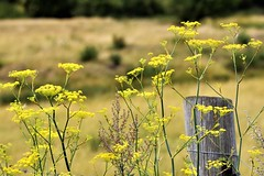 Countryside. (pstone646) Tags: plants flowers nature fence post flora kent bokeh dof field landscape