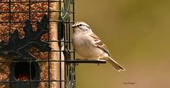 Bird_0001 (Porch Dog) Tags: 2018 garywhittington kentucky nikond750 nikkor200500mm wildlife nature bird feathers backyard