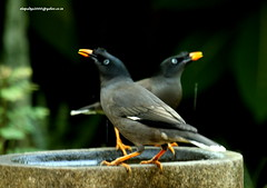 IMG_1647 Jungle Myna (Acridotheres fuscus) (vlupadya) Tags: greatnature animal aves fauna indianbirds jungle myna acridotheres kundapura karnataka