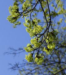 Mainz, Am Drususwall, Ahorn / maple (acer) (HEN-Magonza) Tags: mainz amdrususwall frühling springtime rheinlandpfalz rhinelandpalatinate deutschland germany flora ahorn maple acer spring