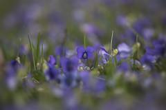 Sweet Violets (Klaus Ficker --Landscape and Nature Photographer--) Tags: violet flower flowers beauty nature spring closeup macro kentuckyphotography klausficker canon eos5dmarkiv tamron180mmmarco