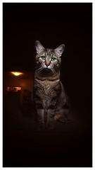Callie (slekes) Tags: cat kitten kitty nature animal greeneyes cute light pet