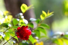Still Camellias (Reid2008) Tags: camelliablooms camellia