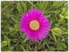 UÑA DE LEON (BLAMANTI) Tags: uña uñadeleon plantas rosa canon canonpowershotsx60 blamanti