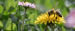 La Butineuse (Didier Gozzo) Tags: canon proxy flower fleur bee abeille macro outdoor