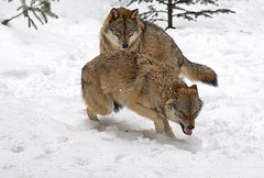 Wolf - Canis lupus (wimberlijn) Tags: wolf canislupus natuur beiersewoud bayerischerwald nationalparkzentrumfalkenstein bavarianforest nature wildlife animal outdoor coth5 ngc specanimal npc