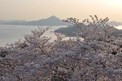 Imabari - End of Sunrise (tcchang0825) Tags: japan setouchi sea island sakura cherryblossom hakatashima