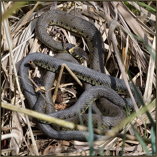 Grass Snake (image 2 of 3)