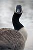 I beg your pardon ? (jeangrgoire_marin) Tags: wild bird goose staring feathered grace animal