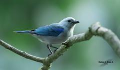 Azulejo- Thraupis episcopus- BLUE- GREY TANAGER (Carlos Alberto Arias A.) Tags: azulejo thrapis episcopus blue grey tanager canon7d markii manizales caldas colombia bird naturephotography birdphotography aire libre