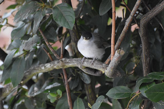 Male Blackcap in my garden