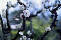 omiya77nc-film (yaplan) Tags: film contaxax flower japan memory
