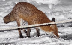 Urban wild red fox in the snow  (4) (Simon Dell Photography) Tags: minibeastfromtheeast itvweather bbcwthrwatchers bbcweather jessopsmoment bbccountryfile bbcspringwatch sheffieldstar harrisoncameras wildlifemag sheffieldparknt wildsheffield parkssheffield urban red fox 3am this morning here sheffield vulpes snow garden city night time low light pentax dslr k50 samples sigma 150500mm lens stunning nature wildlife animal keep ban hunting for food