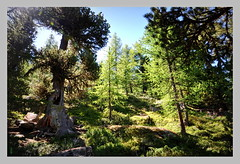 International Day of Forests,  21 March ! (Save planet Earth !) Tags: suisse zermatt arbres forêt forest tree nikon amcc travel voyage