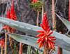 Un peu de couleur sous la pluie... (Larch) Tags: pluie rain goutte drop fleur flower rouge red plante plant cinqueterre monterosso italie italy italia couleur color aloevera