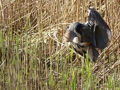 Heron (LouisaHocking) Tags: heron bird birds nature wild wildlife forest farm cardiff british