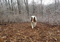 Icy First Day of Spring (~ Liberty Images) Tags: firstdayofspring2018 spring icestorm woods ben benedict collie dog buddy