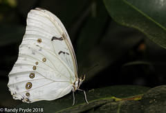White Morpho (wrpryde) Tags: nikon nature natur naturaleza tamron90 macro montreal mariposa march butterfly d850
