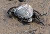 DSC_3311 (Adrian Royle) Tags: lincolnshire skegness gibraltarpointnnr nature wildlife marine beach shellfish crabs urchin lobster starfish nikon macro