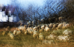 Exit of the sheep (Gill Stafford) Tags: gillstafford gillys image photograph imptessionist sheep field anglesey wales northwales animal farming