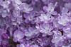 113-365  #nikonpassion365 (bebopeloula) Tags: nikonpassion365 photorobertcrosnier 2018 365 89 bourgogne europe france tonnerre yonne couleurs extérieur fleur lilas macro