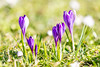 Spring is back and so are we! (P & Y Photography) Tags: nature plant flower crocus spring winter sunlight blossom blue canon 5diii 5d3 70200