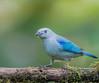Blue-grey Tanager (Thraupis episcopus) (NigelJE) Tags: pichincha ecuador ec bluegreytanager tanager thraupisepiscopus thraupis bluejean thraupidae nigelje santadeo sanjorgeecolodges mindo
