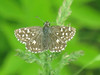 Pyrgus malvae - Grizzled skipper - Толстоголовка малая мальвовая (Cossus) Tags: hesperiidae pyrginae pyrgus анциферово 2007 толстоголовка skipper