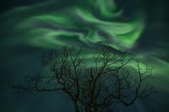 The Old Rowan (B_Olsen) Tags: nordlys corona northernlights arctic nightsky birtavarre kåfjord norway auroraborealis