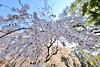 IMG_5855 (digitalbear) Tags: canon eos6d sigma 14mm f18 dg art shinjku gyoen sakura cherry blossom blooming hanami tokyo japan
