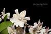 Dendribium Nano Chip AM/AOS (Orchidelique) Tags: nature plant flower orchid hybrid dendrobium den nanochip microchip aberrans am aos ncjc shurdel 20184816