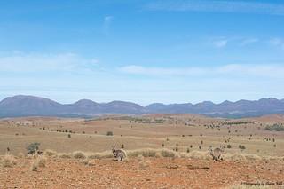Kangaroos/ Wallaroos? in the Flinders