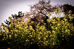桜いろいろ #2ー Various cherry blossoms #2 (kurumaebi) Tags: yamaguchi 秋穂 山口市 nikon d750 nature landscape 桜 菜の花 cherryblossoms rape blossoms