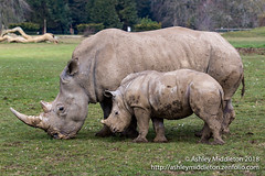 Rhinoceros (Ashley Middleton Photography) Tags: cotswolds rhinoceros england unitedkingdom mammal cotswoldwildlifepark europe rhino animal burford oxfordshire gb