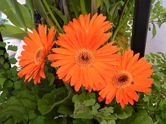 Chicago, Macy's Flower Show, Once Upon Springtime, Orange Gerbera Daisy Trio (Mary Warren 10.6+ Million Views) Tags: chicago macys flowershow onceuponspringtime orange nature flora plant blooms blossoms flowers gerberadaisies macro green leaves foliage coth5