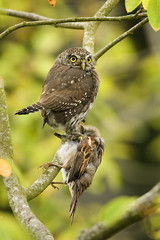 Northern Pygmy-Owl with Captured Prey (House Sparrow) (johntubbs) Tags: owl pygmyowl northernpygmyowl owlwithprey housesparrow owlhunting