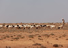 Somali herder with his sheeps in an arid area, Dhagaxbuur region, Degehabur, Somaliland (Eric Lafforgue) Tags: africa agriculture climate climatechange copyspace degehabur developingcountry domesticanimals domesticated drought eastafrica emergenciesanddisasters environment extremeweather herbivorous herd herder herding horizontal hornofafrica mammal man men naturaldisaster nomad nomadic oneadultonly onemanonly oneperson outdoors ruralscene socialissues soma5262 somalia somaliland weather dhagaxbuurregion
